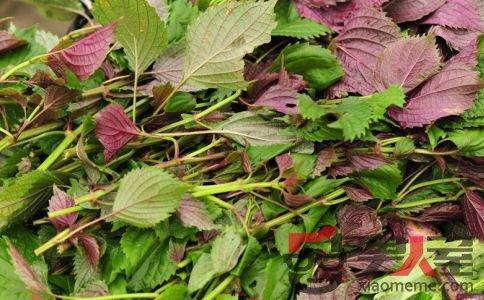 女人吃紫苏的好处 紫苏的营养价值 紫苏的功效和作用